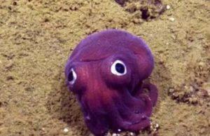 calamar morado